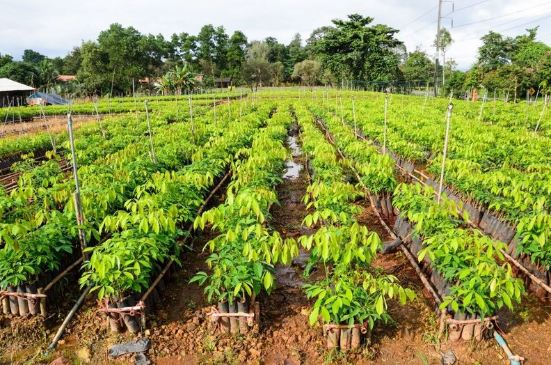 GRI rubber trees
